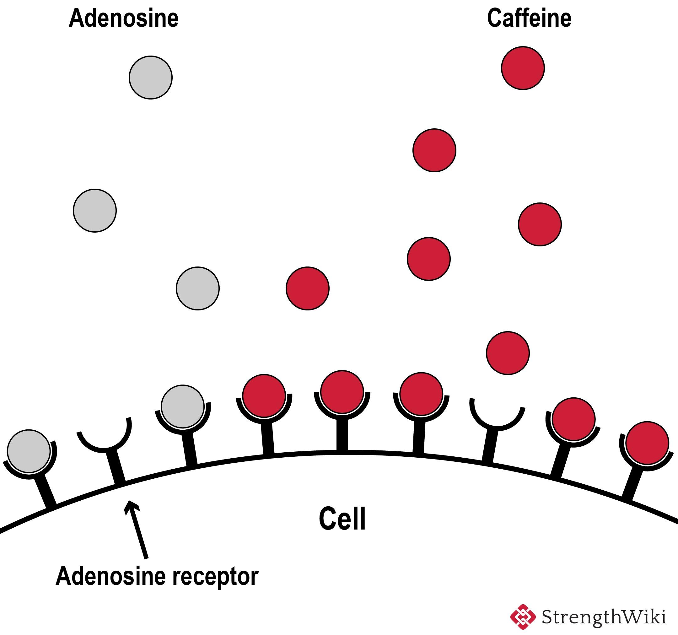 Caffeine blocking adenosine receptors